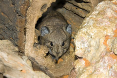 Short-eared Elephant Shrew in a tree hole. Short-eared Elephant Shrew (Macroscelides proboscideus stock image