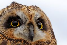 Short-eared Owl Royalty Free Stock Image