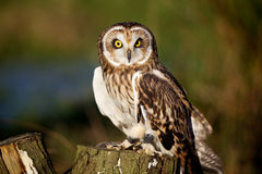 A short eared owl. Standing on a log in the sunshine Stock Images