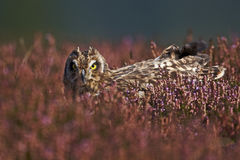 Short-eared Owl. A captive Short-eared Owl in a heather moorland looking at the camera Stock Photos