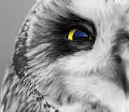 Short-eared Owl Royalty Free Stock Photos