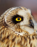 Short-eared Owl Royalty Free Stock Photos