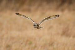 Short-eared owl arkivbilder