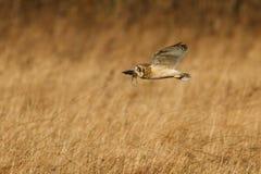 Short-eared owl arkivfoto
