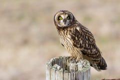 Short eared Owl. Short-eared Owl, at Boundary Bay, Delta, BC, Canada Royalty Free Stock Image