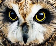 Short-eared Owl Stock Photography