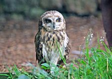 Short Eared Owl. The Shorted Eared Owl standing in grassland stock image