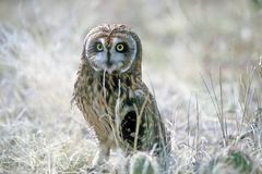 Short eared owl. Photographed in colorado Royalty Free Stock Images