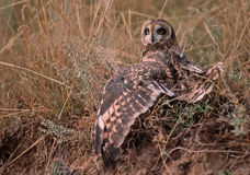 Short eared owl (asio flammeus). Short eared owl stretching his wings Royalty Free Stock Photo