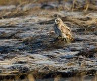 Short eared owl (Asio flammeus) Royalty Free Stock Image