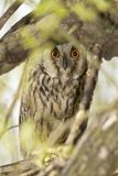 Short eared owl (Asio flammeus) Stock Photo