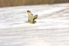 Short eared owl (Asio flammeus) Royalty Free Stock Photos