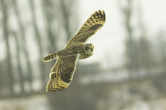 Short eared owl (Asio flammeus). Resting in flight Royalty Free Stock Image
