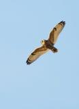 Short Eared Owl - Asio flammeus Stock Photography