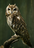 The short-eared owl Asio flammeus Royalty Free Stock Images