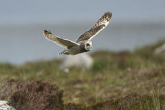 A Short-eared Owl Asio flammeus in flight. Royalty Free Stock Images