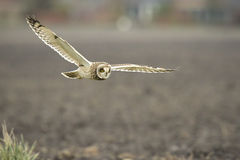 Short-eared Owl Asio flammeus flying Stock Images