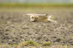 Short-eared Owl Asio flammeus flying Royalty Free Stock Images