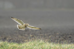 Short-eared Owl Asio flammeus flying Royalty Free Stock Image