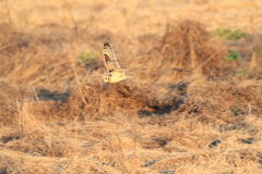 Short-eared Owl Royalty Free Stock Photography