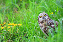 Short-eared Owl Royalty Free Stock Photo