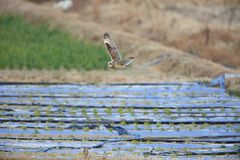 Short-eared Owl. Asio flammeus in Japan Stock Images