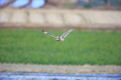 Short-eared Owl. Asio flammeus in Japan Royalty Free Stock Photography