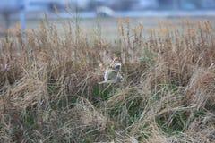 Short-eared Owl. Asio flammeus in Japan Stock Photography