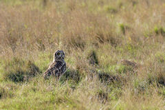 Short-eared Owl (Asio flammeus) in long grass Stock Photos