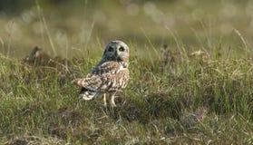 A Short-eared Owl Asio flammeus in the long grass. Royalty Free Stock Photos