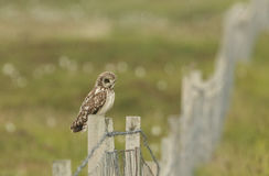 A Short-eared Owl, Asio flammeus, perched on a fence post. Stock Photo