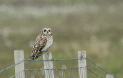 A Short-eared Owl, Asio flammeus, perched on a fence post. Royalty Free Stock Images