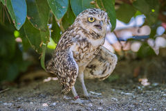 Short-eared owl, asio flammeus Stock Image
