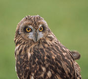 Short-eared Owl (Asio flammeus) Stock Image