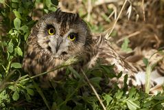 Short eared owl, Asio flammeus, owl, portrait of eyes and face stock images