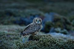 Short-eared Owl, Asio flammeus sanfordi, rare endemic bird from Sea Lion Island, Fakland Islands, Owl in the nature habitat. Bird royalty free stock photography