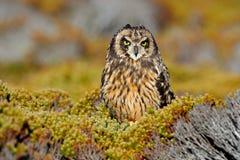 Short-eared Owl, Asio flammeus sanfordi, rare endemic bird from Sea Lion Island, Fakland Islands, Owl in the nature habitat. Bird. Short-eared Owl, Asio flammeus stock photo