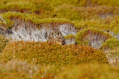 Short-eared Owl, Asio flammeus sanfordi, rare endemic bird from Sea Lion Island, Fakland Islands, Owl in the nature habitat. Bird stock photo