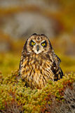 Short-eared Owl, Asio flammeus sanfordi, rare endemic bird from Sea Lion Island, Fakland Islands, Owl in the nature habitat. Owl stock photography