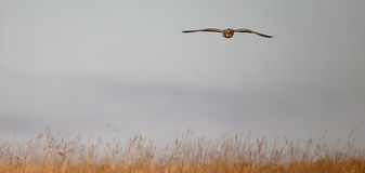 Short-eared owl, Asio flammeus Stock Photos