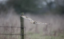 Short-eared owl, Asio flammeus Stock Images