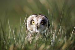 Short-eared owl, Asio flammeus Stock Photo