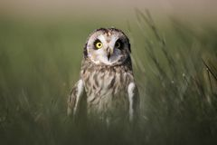 Short-eared owl, Asio flammeus Royalty Free Stock Photo