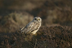 Short-eared owl, Asio flammeus Stock Photo