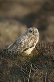 Short-eared owl, Asio flammeus Stock Image