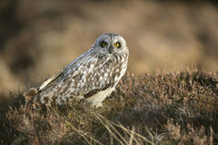 Short-eared owl, Asio flammeus Royalty Free Stock Images