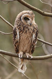 Short-eared owl, Asio flammeus. Royalty Free Stock Photo