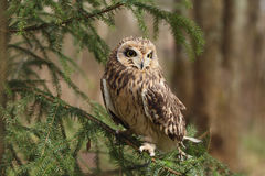 Short-eared owl, Asio flammeus. Royalty Free Stock Image