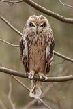 Short-eared owl, Asio flammeus. Stock Images
