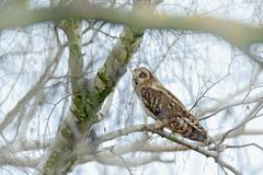 Short-eared Owl, Asio flammeus, sitting on the birch tree. Bird on the winter tree. Animal in the habitat. Wildlife scene from royalty free stock photography